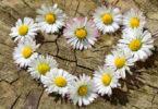 blumenherz-daisy