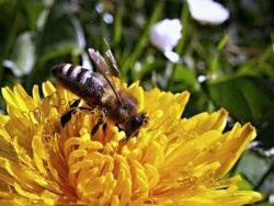 biene-loewenzahn-bee