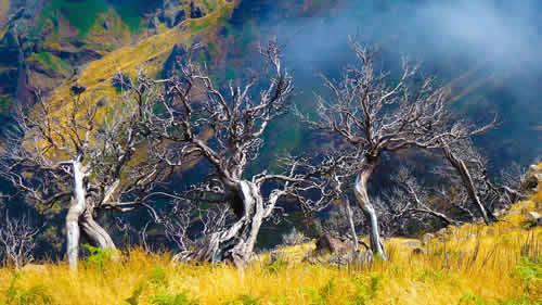 madeira-tree