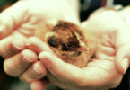 junger-vogel-in-haenden-chicks