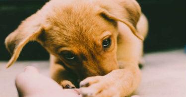 p-trauriger-junger-hund-augen-gucken-hand