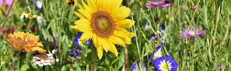 pflanzenwelt-wiese-sunflower
