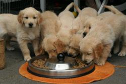 seelenkontakt-mit-lebewesen-golden-retriever-puppy