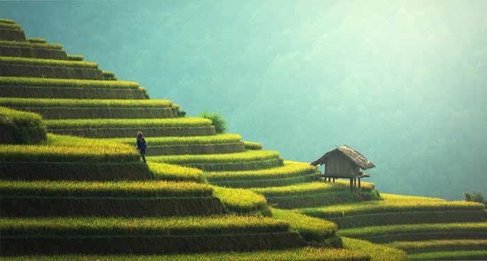 reis-feld-anbau-agriculture