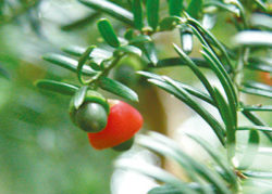 weibliche Eibe-Weltenbaum-nut&apple-Hageneder