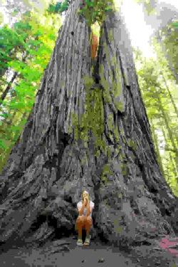 redwood-mamutbaum-sequoia
