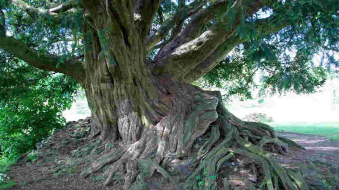 Eibe Weltenbaum-hag2018-11a-taxus-waverley-pnorton2981