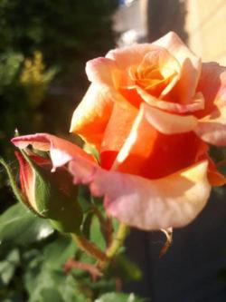 andrea-riemer-rose