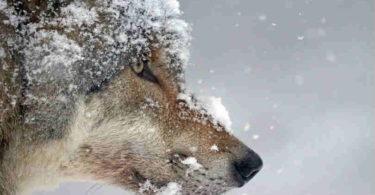 die-Kraft-der Tierenergien-wolf