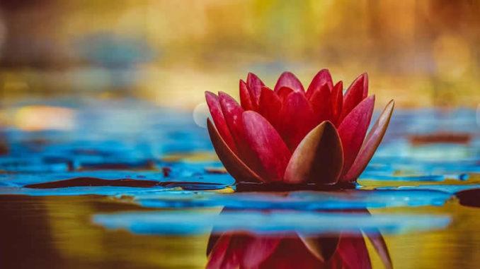 wasser-lilie-water-lily