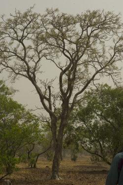Boswellia Dalzielli in Burkina Faso @ Marco Billi 2014 - Huber