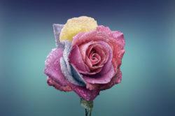 engelbotschaft-freier-wille-schoepferkraft-rose