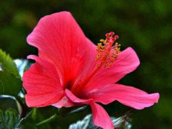 gefuehrte-radreise-hawai2019-lion-tours-hibiskus