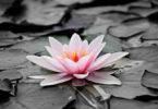 gut-genug-sein-bluete-schwimmt-water-lily