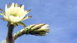 jutta-kloeckner-bluete-kaktus