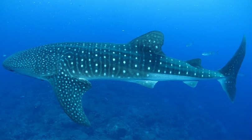 Mexiko2020-Land-derMaya-Kukulkan-Reisen-whale-shark
