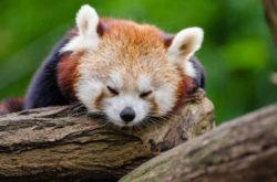 panda-china-rundreise-lion-tours-sabine-stegmann-red-panda