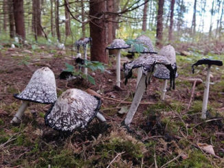Krebstherapie-pilze-tintenpilze-mushroom