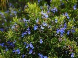 Kräuter und Heilkräuter-rosmarin-blueten
