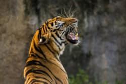 angst-besiegen-tiger-ins-auge-sehen-tiger