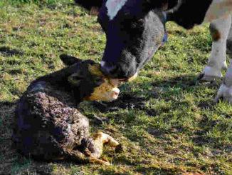 vegan-spiritueller-weg-Kuh-Kalb-little-calf