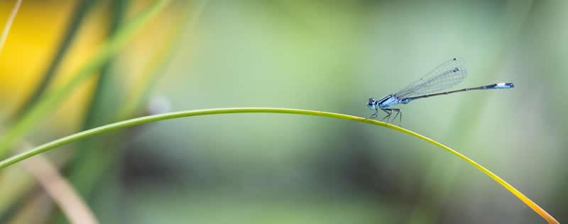 aurum-cordis-Libelle