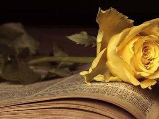 Corona die Krone-Buch-rose