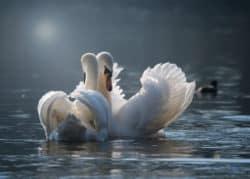 grosse-liebe-schwanen-paar-swan