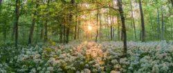 baerlauch-wald-sonne-forest