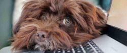 corona-home-office-dog