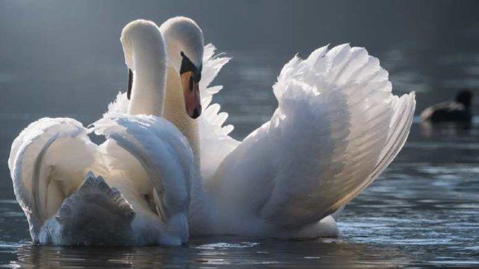 karmische-partnerschaft-swan