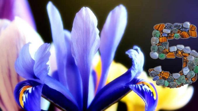 zahl-5-Iris-crocus-