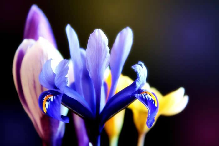 Iris-crocus