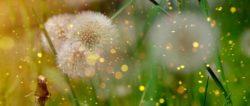 Natürlichkeit-essenz-natur-pusteblume-dandelion