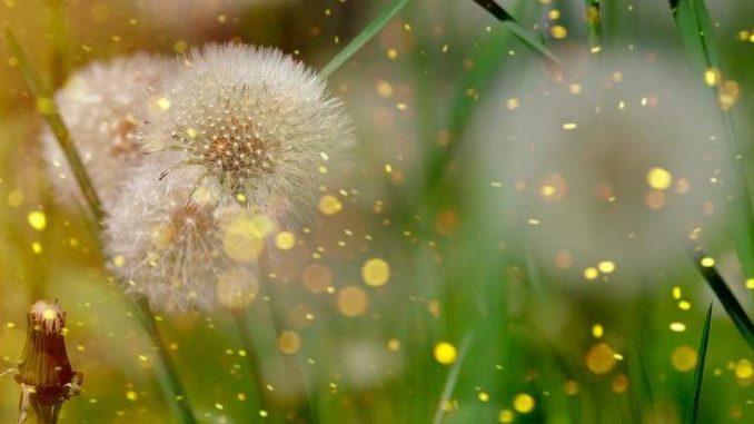 essenz-natur-pusteblume-dandelion