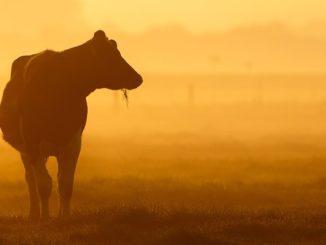 sonnenuntergang-cow