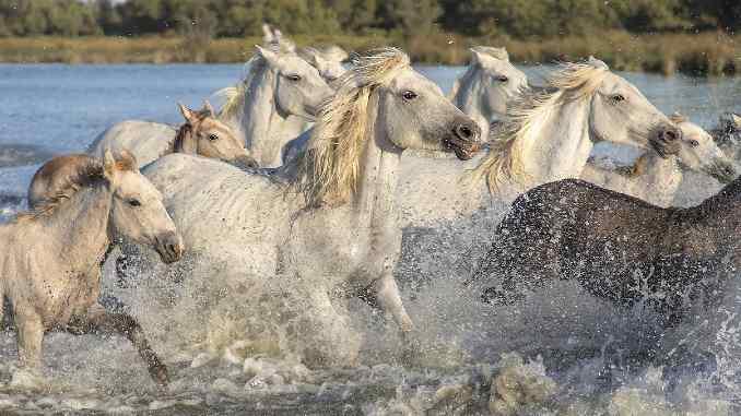 pferde-herde-wasser-camargu