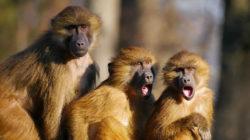 drei-affen-animals