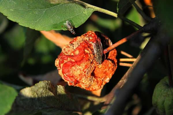 fliegen-frucht-baum-flies
