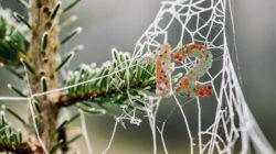 12-Tanne-zweig-spinnweben