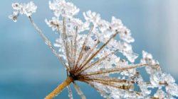 Blume-Eis-Wahrhaftigkeit-meadow-hogweed