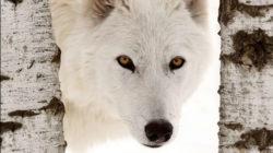 Game of Thrones  Kim-fohlenstein-Wolf-Shutterstock-von-Pictureguy