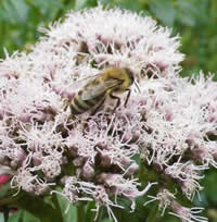Biene-auf-Wasserdost-ines-siri-trost