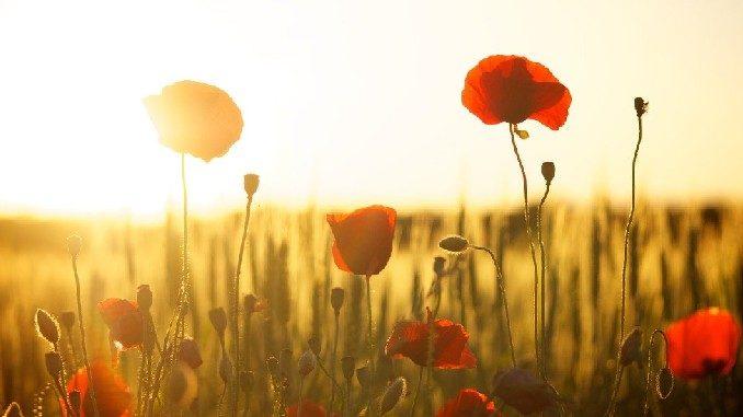 liebe-atmen-mohn-blumen-poppies