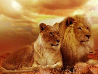 loewen-paar-lions