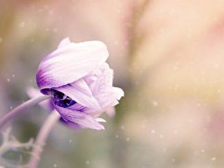 natur-anemone
