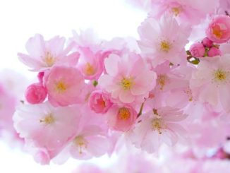 Hanami-Kirschbluete-pink