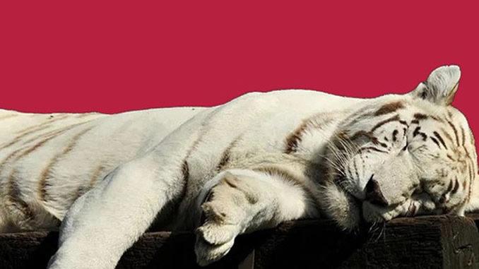 Immunsystem-Booster-Lifepassion-Tiger-Schlaf-
