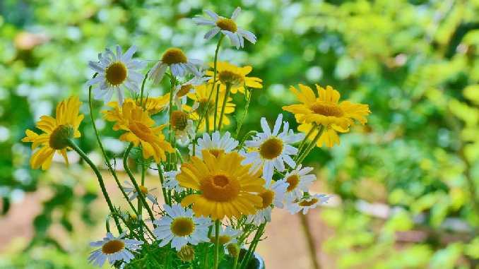 blumen-heilkraeuter-daisies
