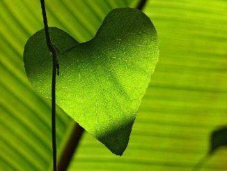 herz-blatt-leaf